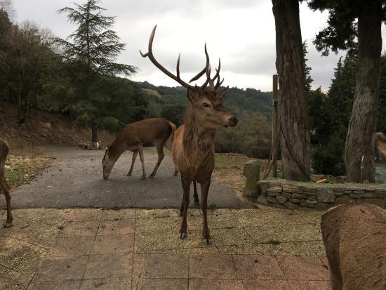 Ladern-sur-Lauquet, Francia: Cerfs & biches