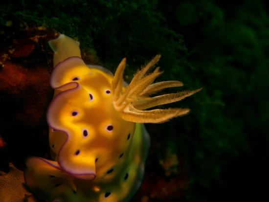 Subic, Filipinas: Nudibranch