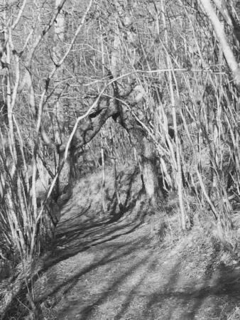 Bellingham, UK : Tree arched over footpath