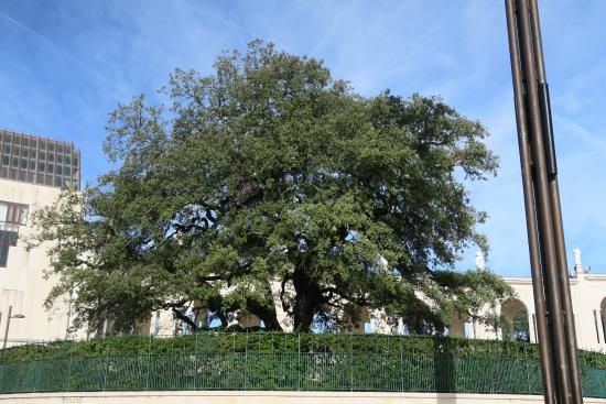 Shrine of our Lady of the Rosary of Fatima: The tree where Our Lady Of Fatima appear to the children