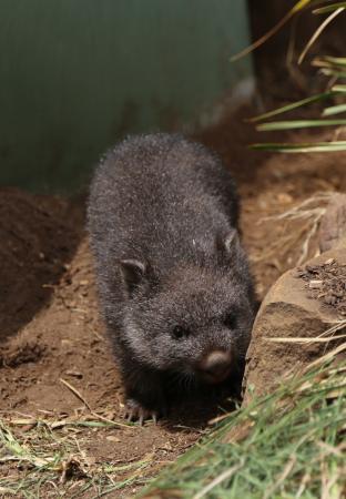 Ταζμανία, Αυστραλία: boroonog farm