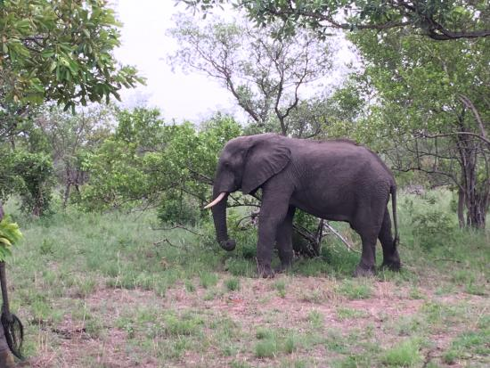 Kruger National Park: one of the many elephant we saw