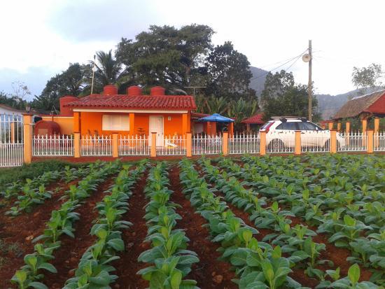 Villa El Habano: Tabaco en Viñales.