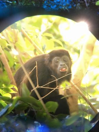 Werner Sauter Biological Reserve: howler monkey photo taken through out guide's high powered scope