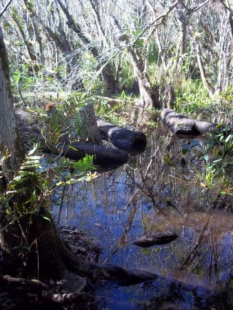 Immokalee, Flórida: This is the only part of the trail that was swampy.