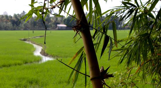 Maria Heritage Homes and Spa: paddy fields