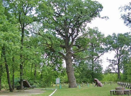 Savran, Ukraine: Вековой дуб возле с.Слюсарево, Савранский лес