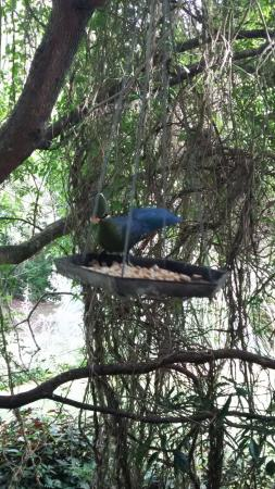 Kingfisher Country House: Knysna loerie joining us for breakfast