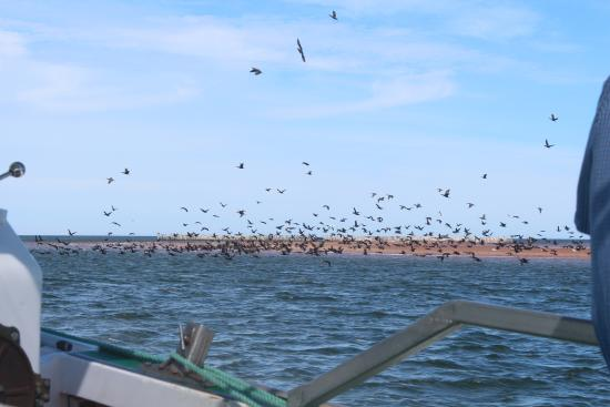 Cavendish, Canadá: Scared away a huge flock of birds