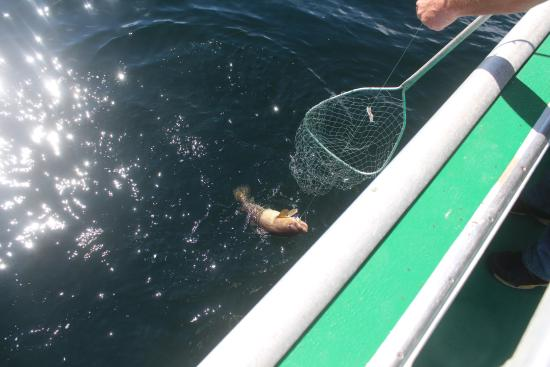 Cavendish, Kanada: This cod was so big a net was needed to bring him in