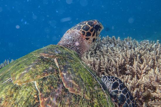 ชุมเบไอส์แลนด์ โครัลพาร์ค: Hawksbill turtle