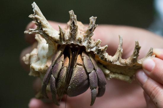 ชุมเบไอส์แลนด์ โครัลพาร์ค: Hermit crab