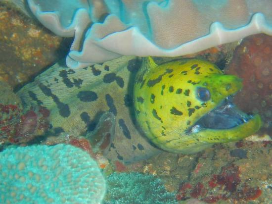 Wori, Indonesië: moray eel