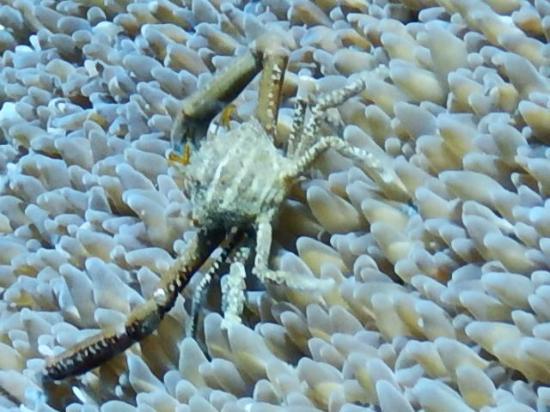 Wori, Indonesien: crab?tiny