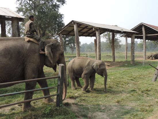 Image result for elephant breeding center in chitwan