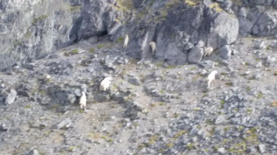 Smithers, Canada: mountain goats