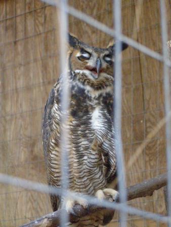 Palmetto, GA: Great Horned Owl