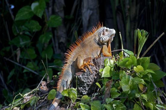 Lake Worth, FL: Iguana in the park