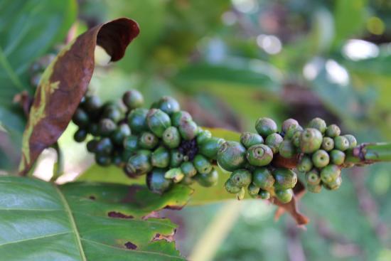 Kalaheo, Hawaje: Mmm, coffee...