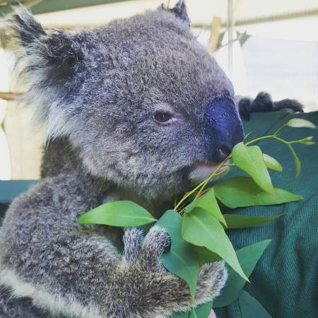 Byford, Australia: Close up of Koala