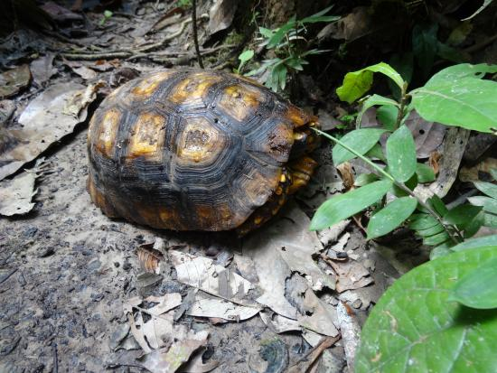 Shiripuno Amazon Lodge: yellow-footed tortoise in the jungle