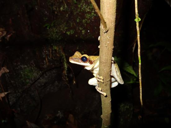 Shiripuno Amazon Lodge: tree frog