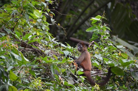 Parque Nacional Tortuguero: Äffchen