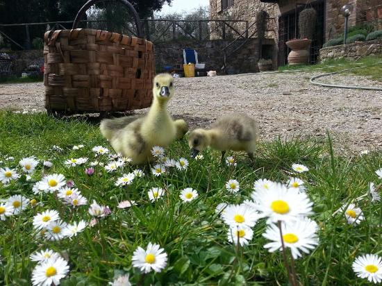 Agriturismo Piaggione di Serravalle: ducks