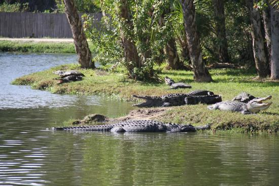 Palmdale, Flórida: So many gators, you'll see them move eventually
