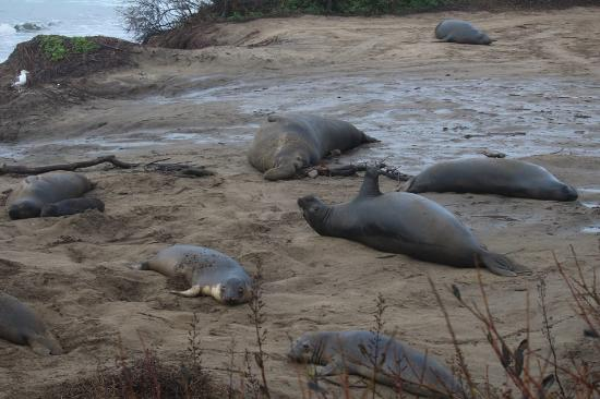 Ano Nuevo Elephant Seal Tours: Big male with his harem