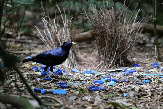 Canungra, Αυστραλία: incredible bower bird