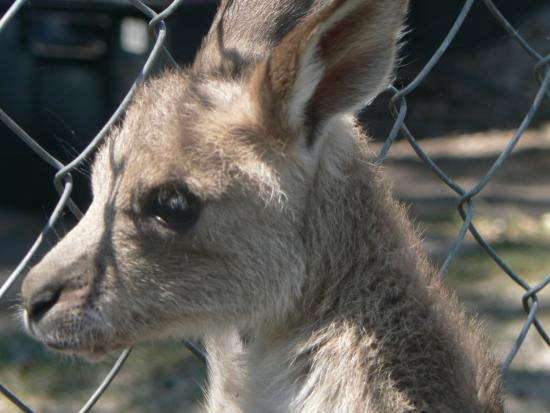 Kangaroo Sanctuary joey named Holly - Pic...