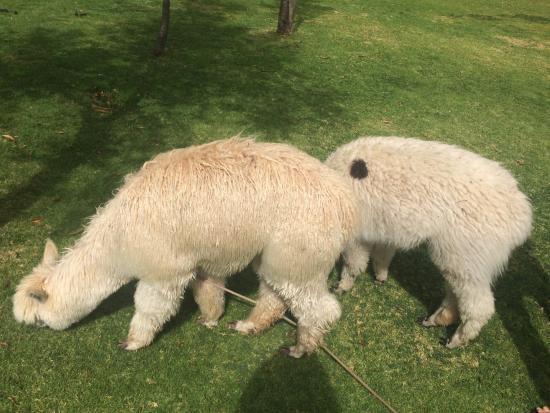 Belmond Hotel Rio Sagrado: Roaming baby alpacas!