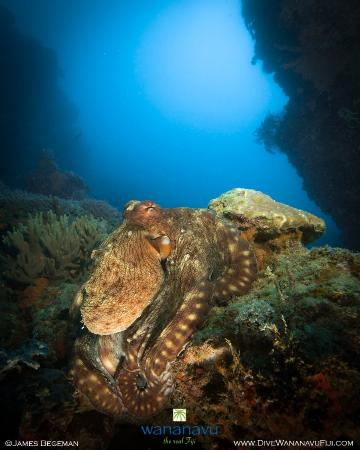 Dive Wananavu : octopus