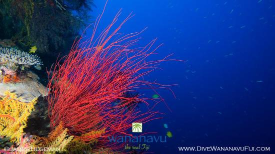 Dive Wananavu : reefscape