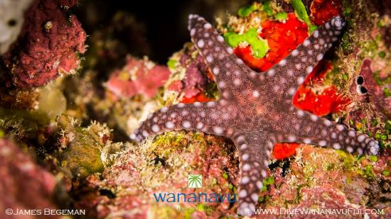 Dive Wananavu : sea star