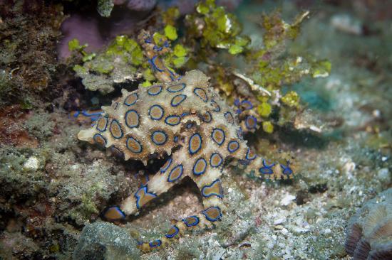 Pulau Lembeh, Indonesia: Blue Ring Octopus
