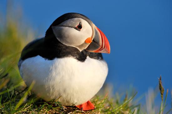 Uig, UK: Puffin
