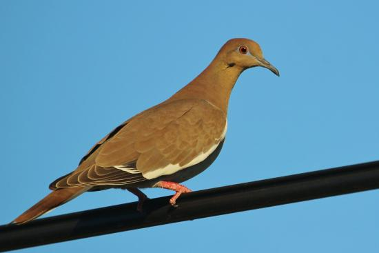 Hotel Garza Canela: White-winged Dove taken at the entrance
