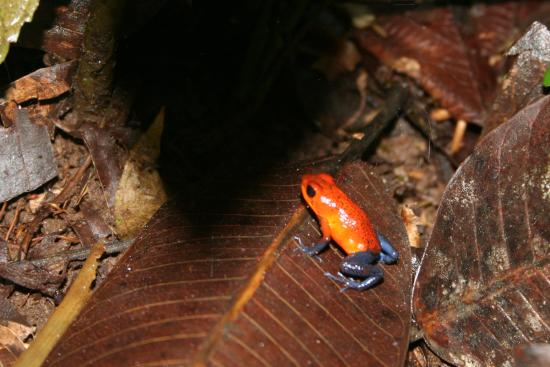 Selva Verde Lodge: blue jeans frog