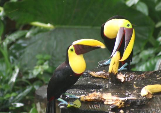 Selva Verde Lodge: toucans at breakfast