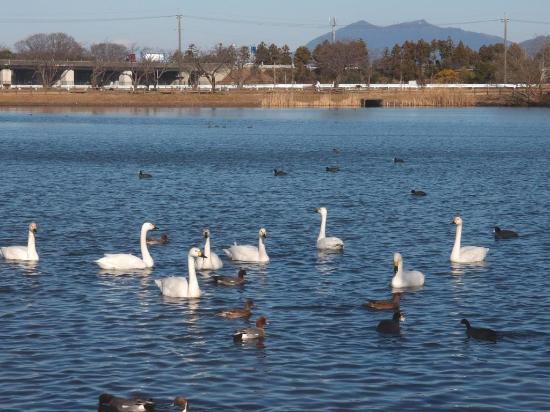 Tsuchiura, Giappone: 乙戸沼公園の白鳥・鴨と筑波山