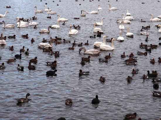 Tsuchiura, Giappone: 乙戸沼公園の白鳥と鴨