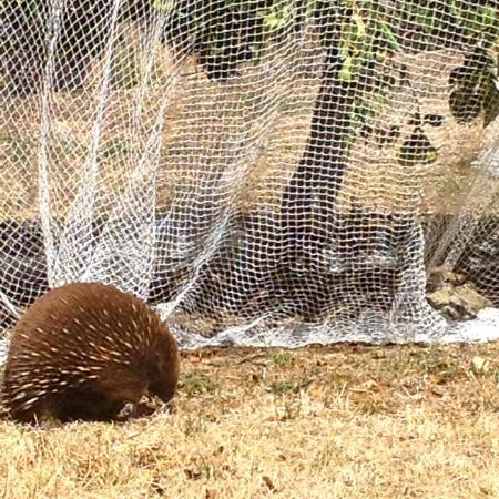 Richmond, Australia: Our resident echidna, Eric, finding tasty treats under the pear trees.
