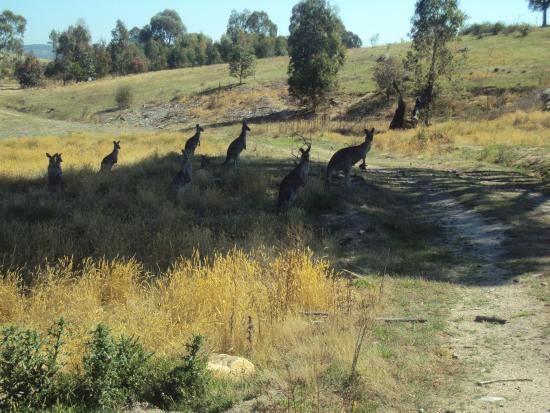 Tuggeranong, Australia: Kangaroos near Pine Island