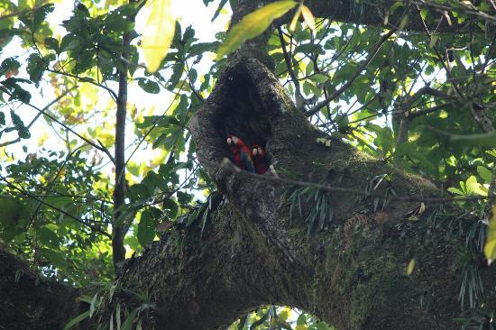Carara National Park: Nesting macaws