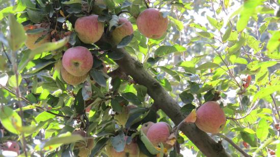 A short stop at Apple Garden on the way to Pahalgam! - Picture of ...