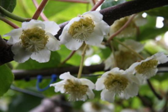 Te Puke, Selandia Baru: Kiwiblüte