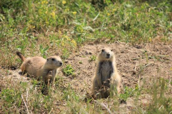 Devils Tower, WY: Prairie dogs nei dintorni