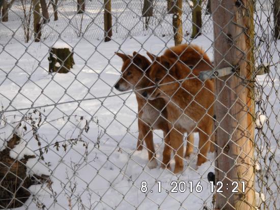 Ueckermunde, Allemagne : Dingos im Schnee
